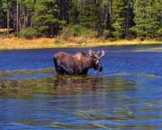 Bull Moose Prints - Bull Moose In The Mountains Print by Terril Heilman