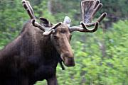 Bull Moose Posters - Bull Moose in the Rain  Poster by Cathy  Beharriell