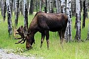Bull Moose Photos - Bull Moose in the Woods  by Cathy  Beharriell