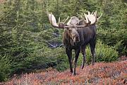 Hemlock Framed Prints - Bull Moose on a Red Carpet Framed Print by Tim Grams