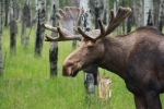 Raining Photos - Bull Moose Portrait by Cathy  Beharriell