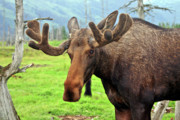 Moose Photos - Bull Moose by Scott Mahon