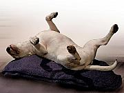 Canine Art - Bull Terrier Dreams by Michael Tompsett