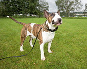 Studded Collar Prints - Bull Terrier In Park Print by Bengtsson, Hasse