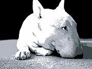 Black  Prints - Bull Terrier White on Black Print by Michael Tompsett