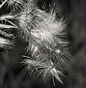 Achenes Framed Prints - Bull Thistle monochrome Framed Print by Steve Harrington