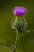 Bull Thistle Posters - Bull Thistle No. 0181 Poster by Randall Nyhof
