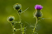 Bull Thistle Posters - Bull Thistles No.0228 Poster by Randall Nyhof