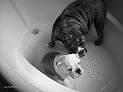 Brindle Prints - Bulldog Bath Time Print by Jeanette C Landstrom