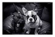 Pals Framed Prints - Bulldog Buddies Framed Print by Mal Bray
