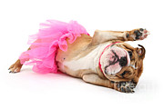Ballet Tutu Prints - Bulldog In Costume Print by Mark Taylor