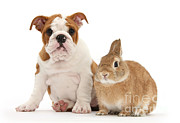 Domesticated Animals Framed Prints - Bulldog Pup And Netherland-cross Rabbit Framed Print by Mark Taylor