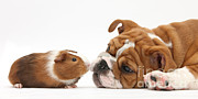 Old Face Photo Framed Prints - Bulldog Pup Face-to-face With Guinea Pig Framed Print by Mark Taylor