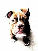 Puppy Digital Art Prints - Bulldog Puppy Print by Michael Tompsett