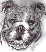 Dogs Drawings - Bulldog by Samantha Howell