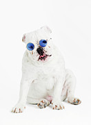 Attitude Photos - Bulldog Wearing Blue Glasses by Max Oppenheim