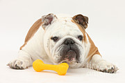 Toy Dog Photo Posters - Bulldog With Plastic Chew Toy Poster by Mark Taylor