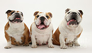 Panting Dog Framed Prints - Bulldogs Framed Print by Mark Taylor