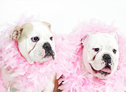 Pampered Prints - Bulldogs Wearing Feather Boas Print by Max Oppenheim