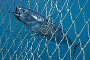 Murcia Photos - Bullet Tuna In A Fishing Net by Angel Fitor