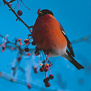 Elena Filatova - Bullfinch