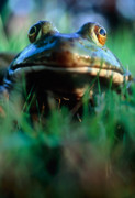 Bullfrog Posters - Bullfrog Poster by David Nunuk