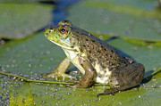 Bullfrog Posters - Bullfrog  Poster by Sharon  Talson