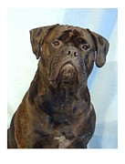 Bullmastiff Prints Metal Prints - Bullmastiff 200 Metal Print by Larry Matthews