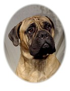 Bullmastiff Prints Metal Prints - Bullmastiff 28 Metal Print by Larry Matthews