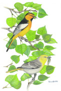 Oriole Drawings Metal Prints - Bullocks Oriole pair Metal Print by Kalen Malueg