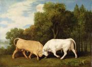 Bulls Photo Prints - Bulls Fighting Print by George Stubbs