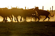 Bulls Photo Posters - Bulls of Camargue Poster by Egija Labanovska