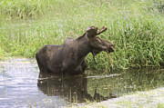 Bull Moose Photos - Bullwinkle  by Jeff  Swan