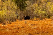 Colorado Mountain Greeting Cards Prints - Bullwinkle Print by Jon Burch Photography