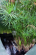 Papyrus Photos - Bulrush (cyperus Papyrus) by Sheila Terry