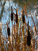 Bulrushes Prints - Bulrushes and sunshine Print by Stuart Turnbull