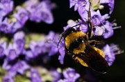 Lorri Crossno - Bumble Bee at Dusk
