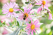 Asters Prints - Bumble Bee on Asters Print by Lena Auxier