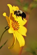 Bee In Flight Prints - Bumble in Flight Print by Heather Maitland-Schmidt