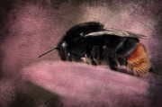 Bee Prints - Bumblebee II Print by Angela Doelling AD DESIGN Photo and PhotoArt