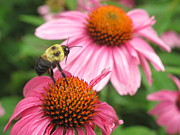 Neil Thomasson - Bumblebee on Cone Flower