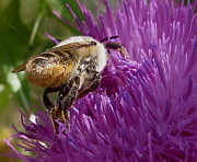 Neil Thomasson - Bumblebee On Thistle