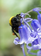 Endymion Prints - Bumblebee Resting On A Bluebell Print by Dr Jeremy Burgess