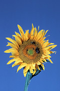 Gathering Photos - Bumblebees Pollinating A Sunflower by Georgette Douwma