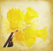 Daffodils Posters - Bunch of Daffodils Poster by Cathie Tyler