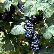 Vine Grapes Photo Posters - Bunch of Grapes Poster by Heiko Koehrer-Wagner