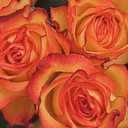 Orange Flower Acrylic Prints - Bunch Of Orange Roses Acrylic Print by Kim Haddon Photography