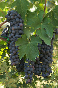 Blue Grapes Photos - Bunches Of Sangiovese Grapes Hang by Heather Perry