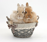 Picnic Basket Prints - Bunnies A Basket Print by Mark Taylor