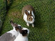 Trio Photos - Bunnies by Lisa Hebert